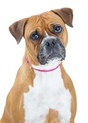 Closeup Boxer breed dog with sad expression, looking at camera