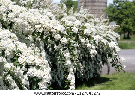 Closeup bush of white blooming spirea bush - Shutterstock ID 1127043272