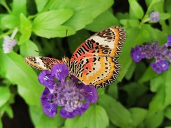 Closeup butterfly on flower (Common tiger butterfly),Tiger butterfly on green leaves,Monarch,  Nice insect from thailand.