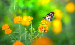Closeup butterfly on flower (Common tiger butterfly),Tiger butterfly on the flower