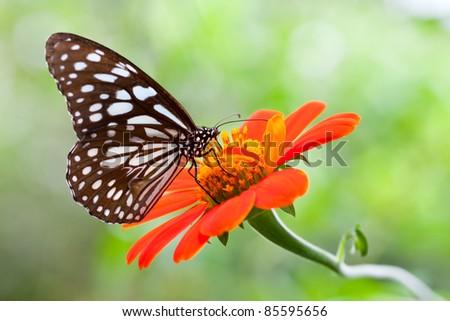 Closeup Butterfly on Flower (Pale Blue Tiger Butterfly)