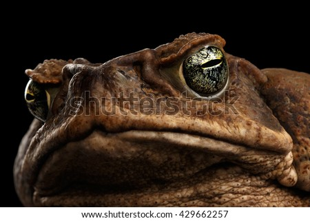 Closeup Cane Toad - Bufo marinus, giant neotropical or marine toad Isolated on Black Background