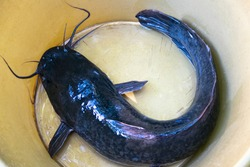 closeup catfishes in big bowl