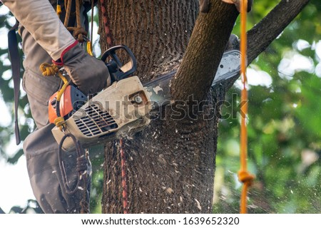 Closeup chainsaw in the hand of arborist cutting the branch of maple tree near the trunk, wood cheeps flying.  Tree surgery.  Stock photo ©