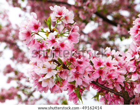 stock-photo-closeup-cherry-flowers-49162414.jpg