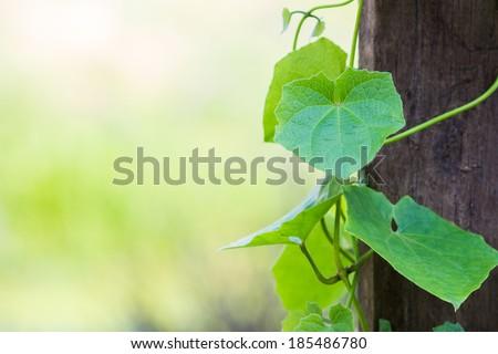 Closeup climber plant with wood plank in the garden (Thunbergia grandiflora, Blue Trumpet Vine, Clock Vine)
