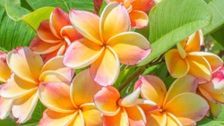 Closeup colorful Frangipani Flowers. Exotic yellow, Beautiful Plumeria or Frangipani (Hawaii, Hawaiian Lei Flower, Bali, Shri-Lanka, champa) on green leaves background, Thailand spa and therapy flower