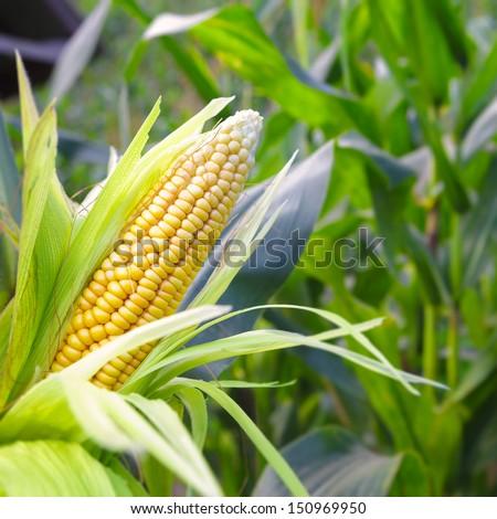 Closeup corn on the stalk in the corn field #150969950