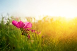 closeup Cosmos flowers during sunrise soil. Beautiful natural sunlight during sunset area and a blur of use.