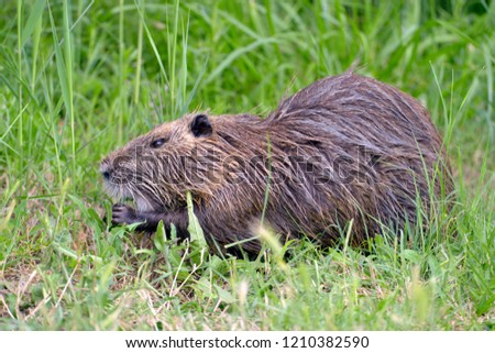 Closeup coypu (Myocastor coypus) in grass seen from profile near the ponds of Camargue in France