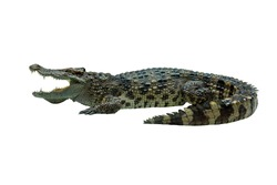 Closeup crocodile isolated on white background