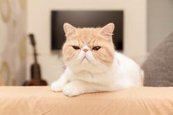 closeup cute oragne cat in the room