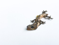 Closeup dead lizard without tail isolated on white background. Dried fossil of reptile.