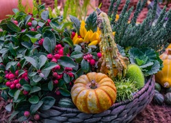 Closeup decorative vegetable flower arrangement in a basket: a snowberry shrub with pink fruits, orange pumpkin, small yellow peppers spray, studded pumpkins and ornamental spiky cucumber. Autumn fest