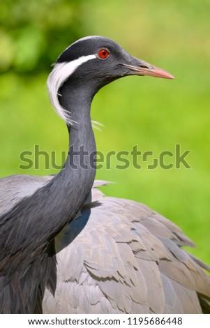 Closeup demoiselle cranes (Anthropoides virgo)
