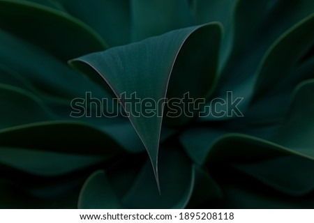 Closeup detail of agave attenuata leaf details texture. Agave abstract natural pattern background, dark green toned. Well-focused leaf with blurred background shaped like lines.Dark and moody feel.
