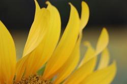 Closeup detail of sun flower in garden, Beautiful yellow flower