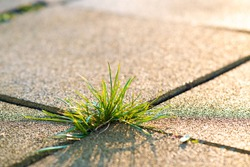 Closeup detail of weed green plant growing between concrete pavement bricks in summer yard.