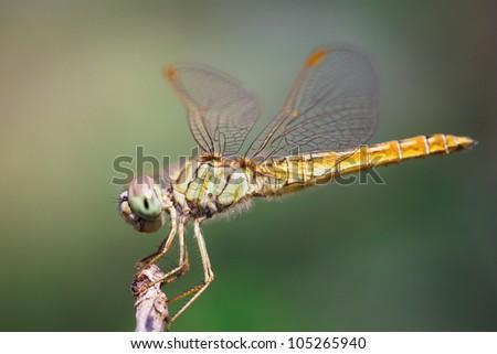 Closeup dragonfly