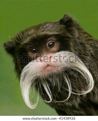 Closeup Emperor Tamarin Monkey