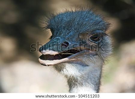 Closeup emu in open zoo, Serbia
