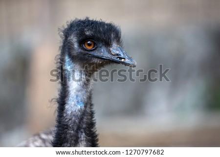 Closeup Emus or Dromaius novaehollandiae