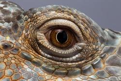 Closeup Eye of Green Iguana, Looks like a Dragon