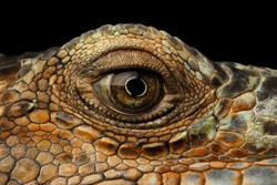 Closeup Eye of Green Iguana, Looks like a Dragon Isolated on Black Background