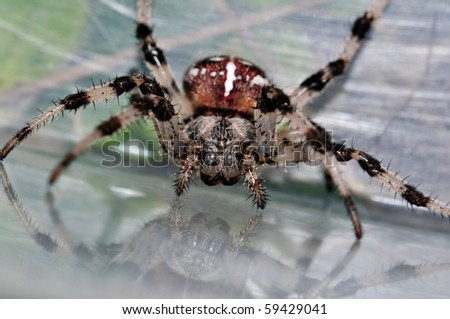 Closeup face of giant cross spider