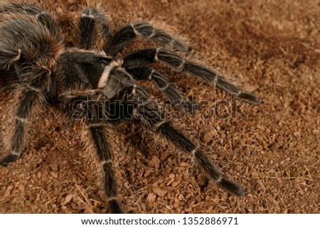 Closeup female of Spider Tarantula  (Lasiodora parahybana). These spiders considered to be the third largest tarantula in the world. Females can live up to 25 years.