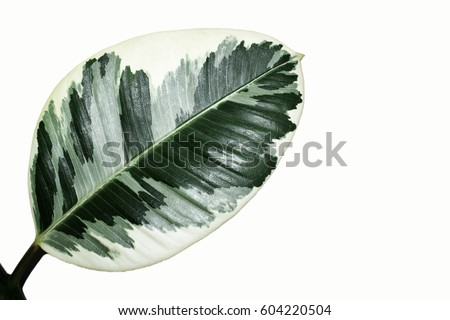 Closeup Ficus elastica green leaf with white isolated texture background, fresh leaf chlorophyll with light sunshine, natural pattern. #604220504