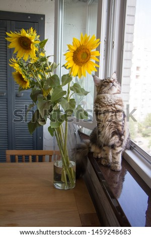 Closeup fluffy kitten Maine Coon sitting on the windowsill next to a vase of sunflowers on the kitchen table