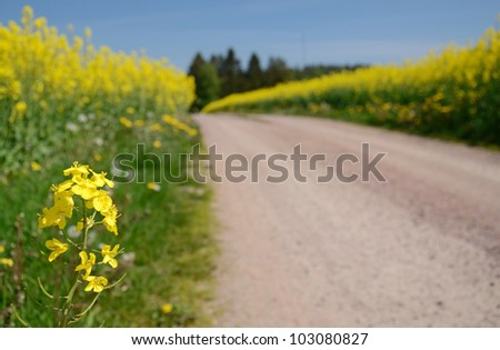 Closeup for rapeseed flower on Swedish field