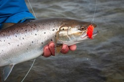 Closeup for sea trout - fly fishing trophy in spring season