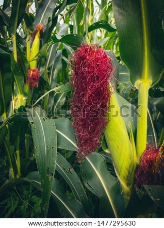 Closeup fresh corn on the stalk in the corn field. Corn is growing in the corn field.  #1477295630