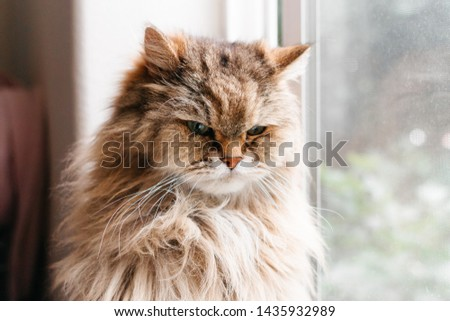 Closeup front facing portrait of a tan long haired cat with an angry expressing and soft focus of window and white wall in background #1435932989