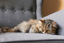 Closeup front facing portrait of an old long haired tabby cat snuggled into the arm of a gray fabric chair with its legs tucked in and soft focused background