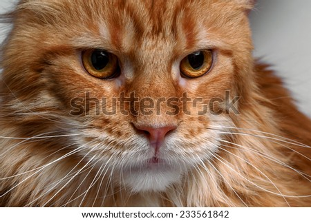 closeup ginger Maine Coon cat on white background