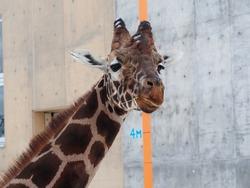 Closeup giraffe face in winter in Japanese zoo.