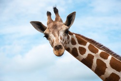 Closeup giraffe on blue sky background