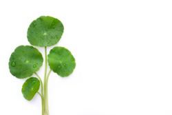 Closeup Gotu Kola leaves with water drops( Asiatic pennywort, Indian pennywort, Centella asiatica ) isolated on white background. Tropical medical herbal plant concept. Top view.Flat lay.Clipping path