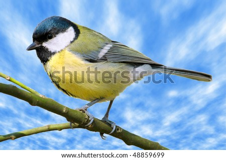 Closeup great tit (Parus major) on branch on cloudy blue sky background