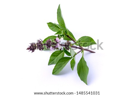 Closeup green fresh sweet basil leaves (Ocimum basilicum) with flower isolated on white background. Herbal medicine  plant concept. Zdjęcia stock ©