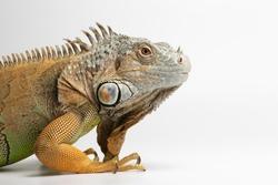 Closeup Green Iguana on White Background, Profile view