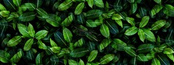 Closeup green leaves background, Overlay fresh leaf pattern, Natural foliage textured and background
