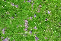 closeup green moss or small flowerless plants background