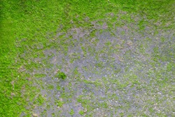 closeup green moss or small flowerless plants background with copy space