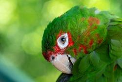 Closeup Green parrot