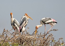 Closeup Group of Painted Stork Nesting on The Top of Tree