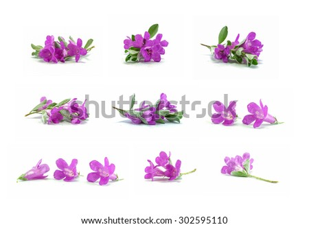 Closeup group of purple flower isolated on white background , beautiful purple flower found in asia , nine purple flower in one pic